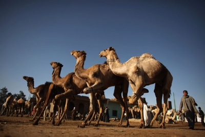 Half Day Tour to Camel Market of Birqash